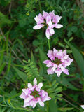 Wildflower rosado Foto de archivo libre de regalías