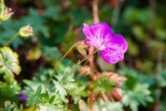 Wildflower rosado Imágenes de archivo libres de regalías
