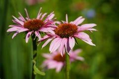 Wildflower rosado de Coneflower foto de archivo