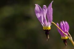 Wildflower rosado de Dodecatheon de la estrella fugaz Foto de archivo