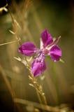 Wildflower rosado del desierto Foto de archivo