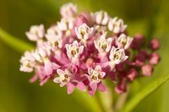 Wildflower rosado en la primavera Fotos de archivo libres de regalías