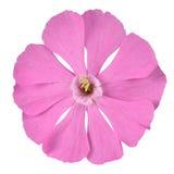 Wildflower rose de lychnide d'isolement sur le blanc Photos libres de droits