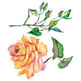 Wildflower rose flower in a watercolor style isolated. Full name of the plant: rose. Aquarelle wild flower for background, texture, wrapper pattern, frame or Royalty Free Stock Images