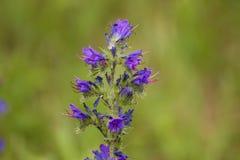 Wildflower roxo Imagem de Stock Royalty Free
