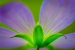 Wildflower roxo Foto de Stock