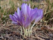 Wildflower roxo do açafrão Imagens de Stock Royalty Free