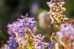 Wildflower roxo pequeno Imagem de Stock Royalty Free