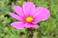 Wildflower in Roze Stock Afbeeldingen