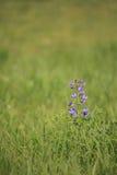 Wildflower - salvaje-añil azul Fotografía de archivo
