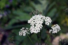Wildflower - Schafgarbe (Achillea-millefolium) Stockbild