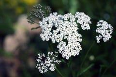 Wildflower - Schafgarbe (Achillea-millefolium) Stockbilder
