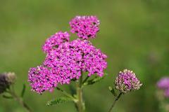 Wildflower - Schafgarbe (Achillea-millefolium) Stockfotografie