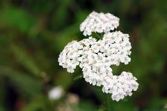 Wildflower - Schafgarbe (Achillea-millefolium) Stockfoto