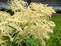 Wildflower: Schnee-in-Sommer, Flachsblatt paperbark, Cajeput-Baum Schmal-leaved Paperbark, Schmal-leaved Honey Myrtle, Schneestur Stockbild