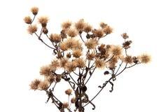 Wildflower secco immagini stock libere da diritti
