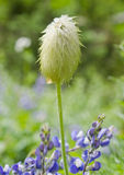 Wildflower Seedhead Royalty Free Stock Image