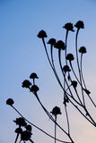 Wildflower Silhouettes. Silhouette of wildflowers against a blue sky Royalty Free Stock Image