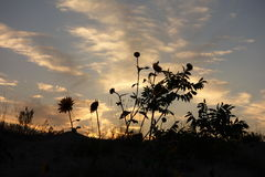 Wildflower silhouettes. At sunset in Pocatello, Idaho Royalty Free Stock Photo