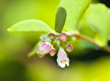 Wildflower Snowberry, genus Symphoricarpos Royalty Free Stock Images