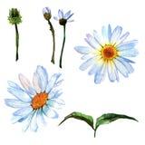 Wildflower stokrotki kwiat w akwarela stylu odizolowywającym ilustracji