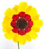 Wildflower su bianco Fotografia Stock Libera da Diritti