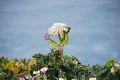 Wildflower sulla cima di punto Reyes Immagini Stock