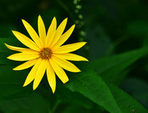 Wildflower - Sunny Smile - Wild Wood Sunflowers- Necedah Wildlife Refuge, Wisconsin, USA Stock Photos