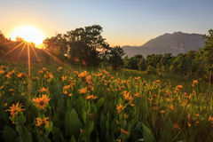 Wildflower sunset rays in Provo, Utah. Royalty Free Stock Photography