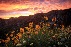 Wildflower sunset in the Utah mountains. Royalty Free Stock Photo