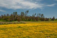 Wildflower super bloei Gebied van gele bloemen royalty-vrije stock foto's
