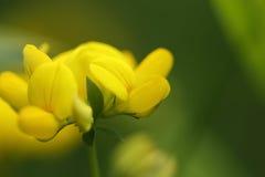 Wildflower - tło Zdjęcie Royalty Free