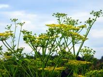 Wildflower tossico del bordo della strada della pastinaca in NYS fotografia stock