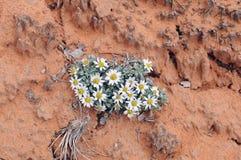 Wildflower Townsend Стоковая Фотография RF