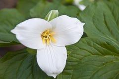 wildflower trillium весны Стоковая Фотография