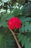 Wildflower tropical d'ampoule rouge photos libres de droits