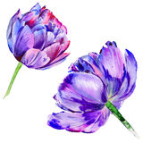 Wildflower tulip flower in a watercolor style isolated. Stock Image