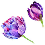 Wildflower tulip flower in a watercolor style isolated. Royalty Free Stock Images