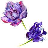 Wildflower tulip flower in a watercolor style isolated. Stock Photos