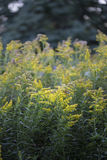 Wildflower - vara de oro Imagenes de archivo
