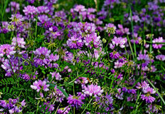 Wildflower - varia Crownvetch- Coronilla in zentralem Wisconsin, USA Stockfotos