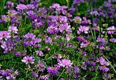Wildflower - varia van Crownvetch- Coronilla in Centraal Wisconsin, de V.S. Stock Foto's