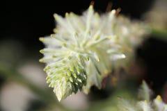 Wildflower verde de Mulla Mulla fotografía de archivo