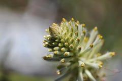 Wildflower verde de Mulla Mulla imagen de archivo libre de regalías