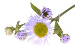 Wildflower violet Image libre de droits