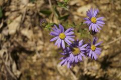 Violet prairie aster  - Aster amellus Royalty Free Stock Photography