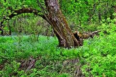Wildflower - Virginia Bluebells w Wisconsin Zdjęcia Royalty Free