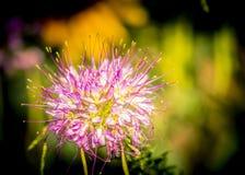 Wildflower w słońcu na równinach Kolorado zdjęcie stock