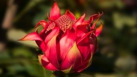 Wildflower Waratah Photos libres de droits