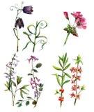 Wildflower Royalty Free Stock Photo